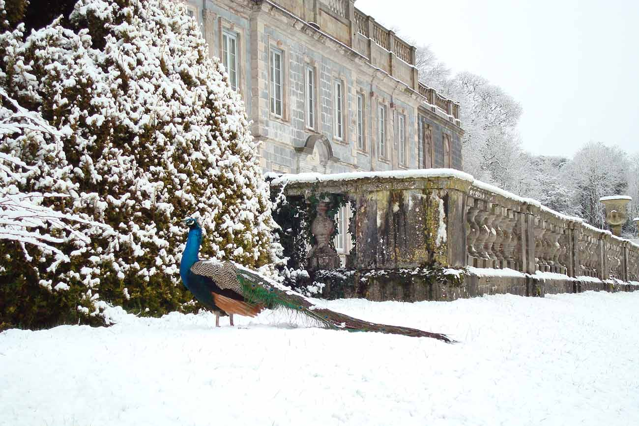 Peacock in the snow at Gloster House, Co. Offaly