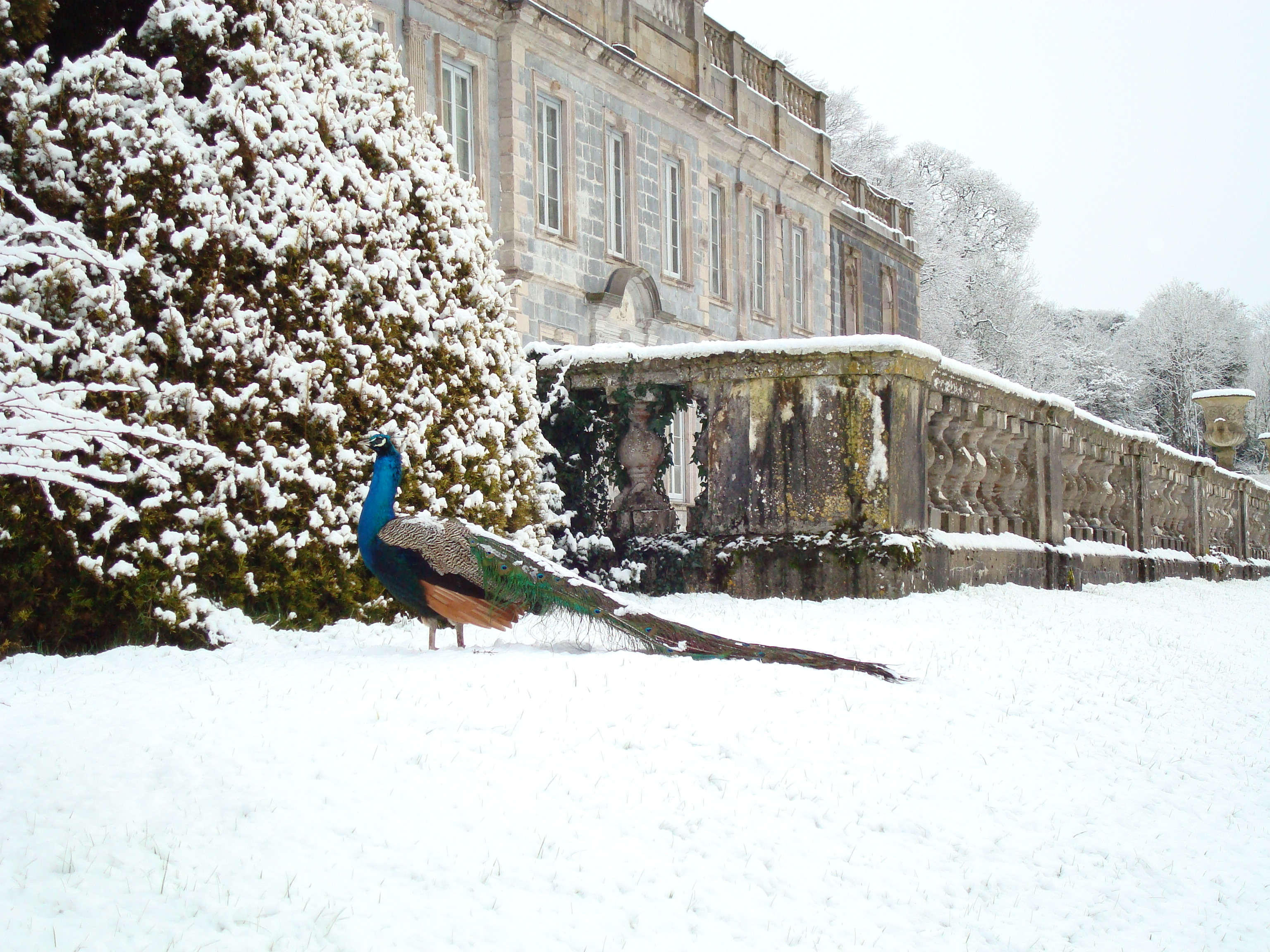 peacock in the snow at gloster house