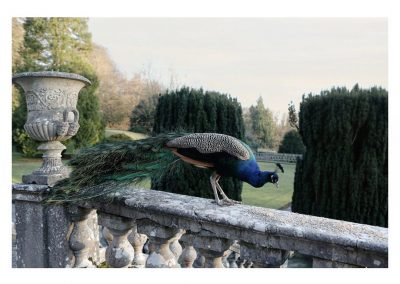 Percy the Peacock - Gloster House
